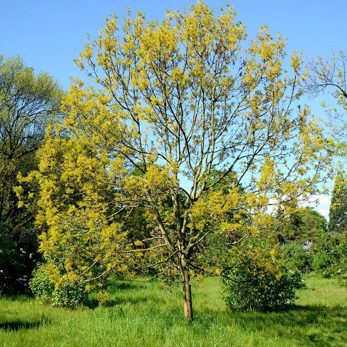 Variétés de grande taille Frêne doré (Fraxinus excelsior 'Jaspidea')