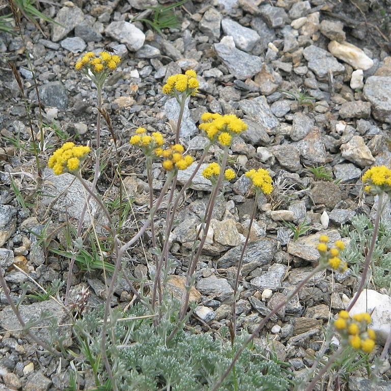 Génépi des glaciers (Artemisia glacialis)