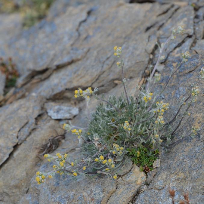 Génépi (Artemisia umbelliformis)