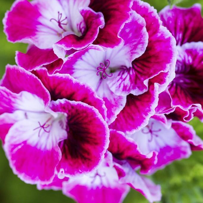 Gloxinia élégant, Gloxinia des fleuristes (Sinningia speciosa)