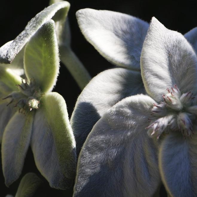 Edelweiss du Brésil (Sinningia leucotricha ou Reichsteneria leucotricha)
