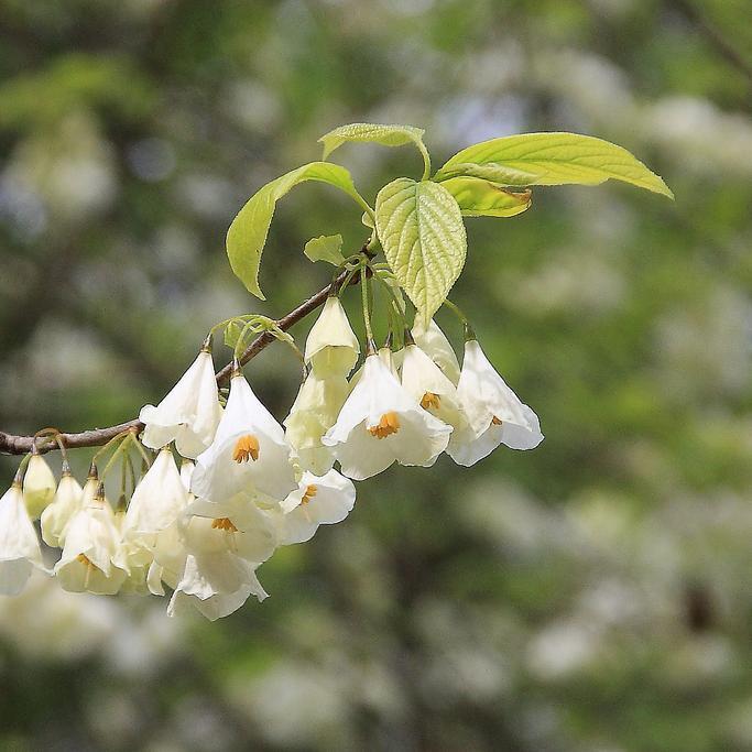Variétés à fleurs blanches Halesia diptera var. magnifolia