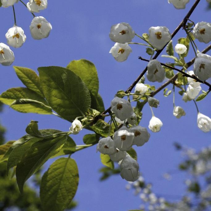 Variétés à fleurs blanches Arbre aux cloches d'argent (Halesia carolina)