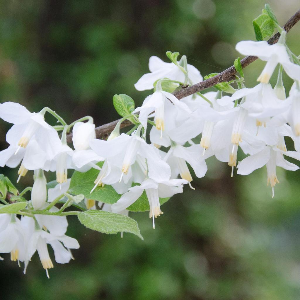 Variétés à fleurs blanches Perce-neige en arbre (Halesia monticola)
