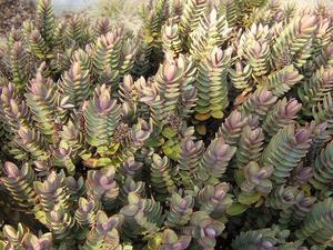 Plantation de la véronique arbustive (<em>Hebe</em>)