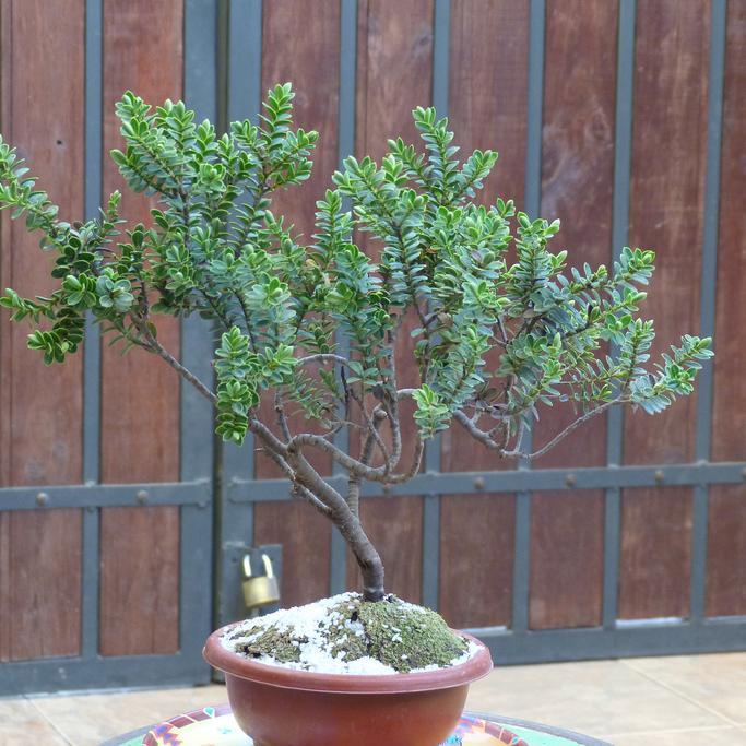 Hebe buxifolia, syn H.odora Espèce type