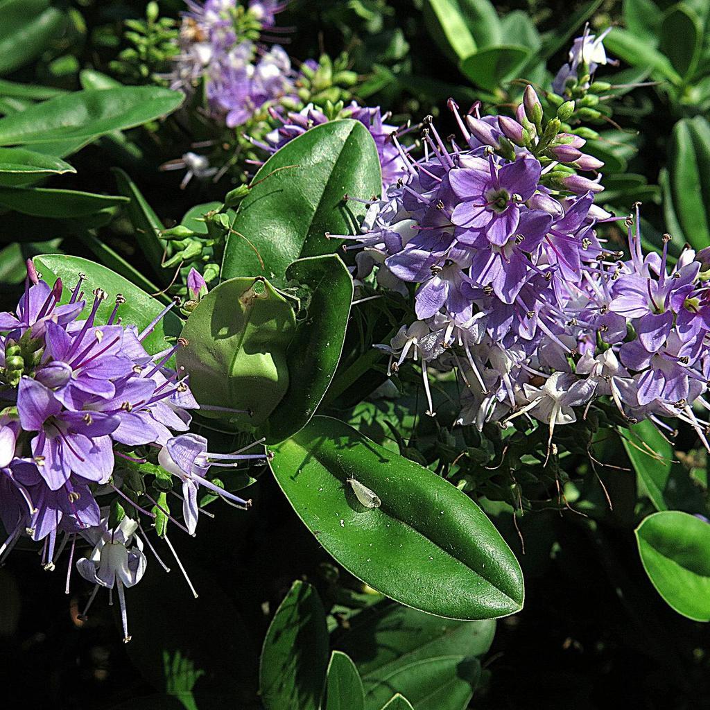 Hebexandersonii Espèce type