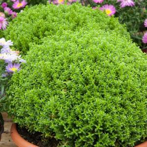 Hebe buxifolia, syn H.odora 'Emerald Green', syn. Green Globe'