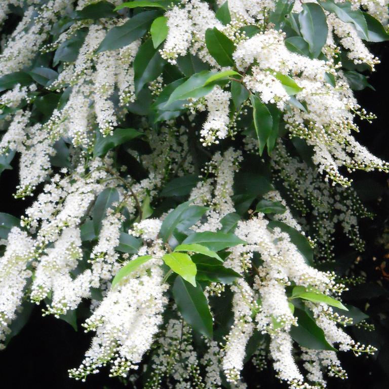 Prunus lusitanica Espèce type