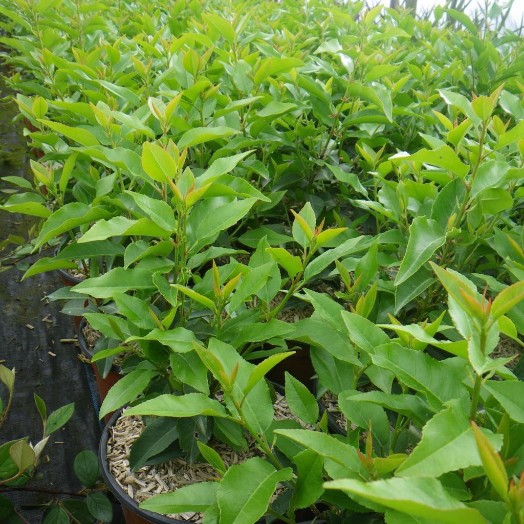 Prunus lusitanica 'Angustifolia', syn. 'Myrtifolia'