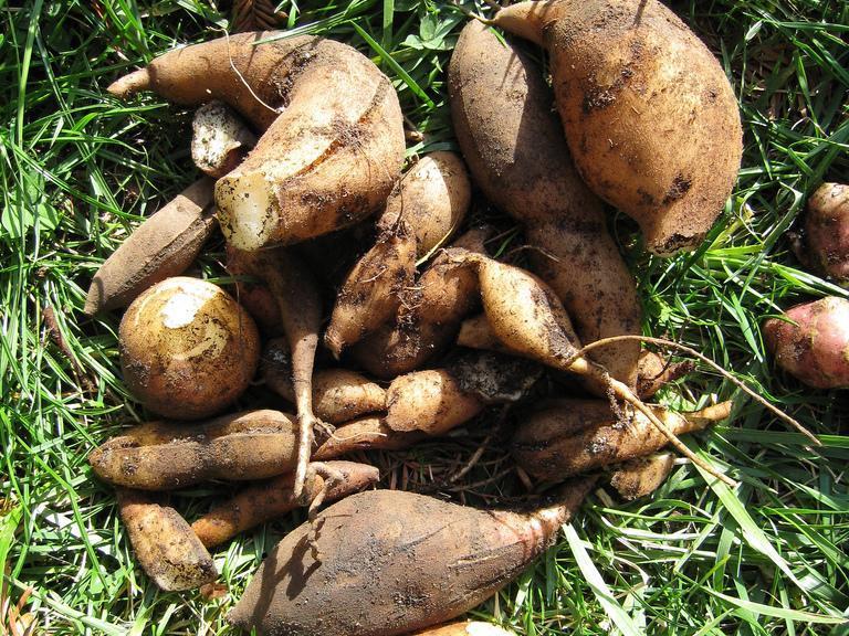poire de terre planter et cultiver ooreka