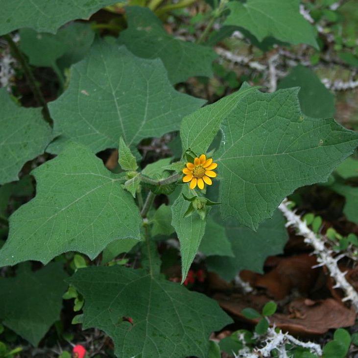 Smallanthus sonchifolius