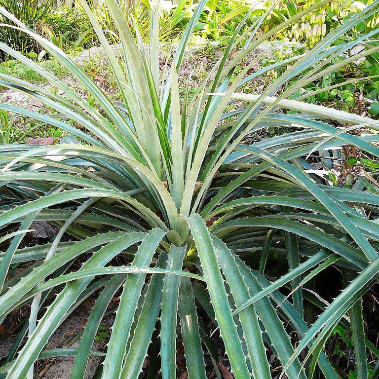 Bromelia balansae (Argentine, Bolivie, Brésil, Colombie et Paraguay) 'Variegata'