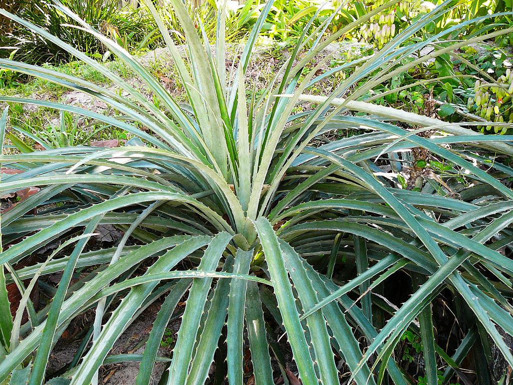 Bromelia planter et cultiver ooreka for Plante bromelia
