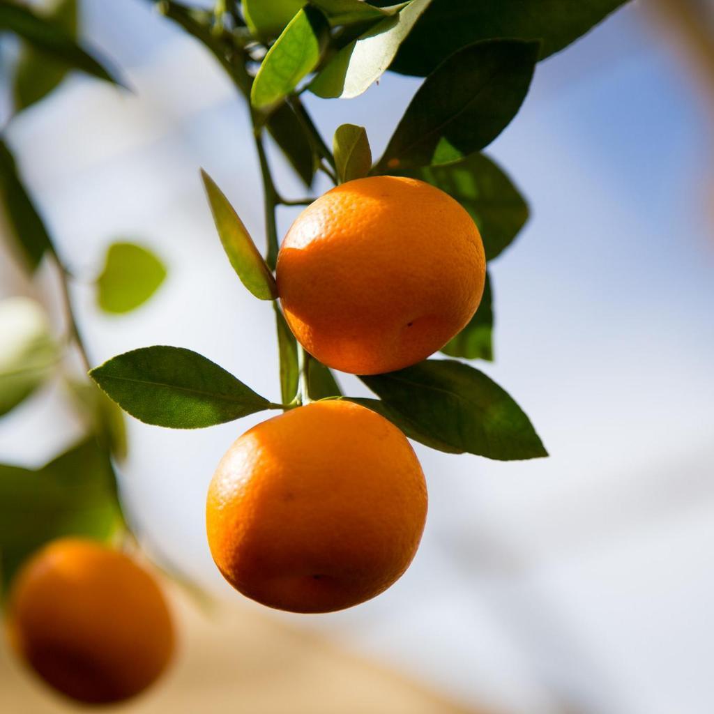 Calamondin, oranger d'appartement (Citrus mitis) Espèce type