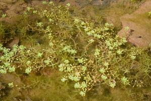 Semis et plantation du callitriche