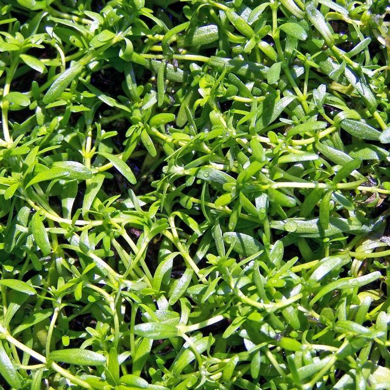 plante aquatique a petites feuilles rondes synonyme