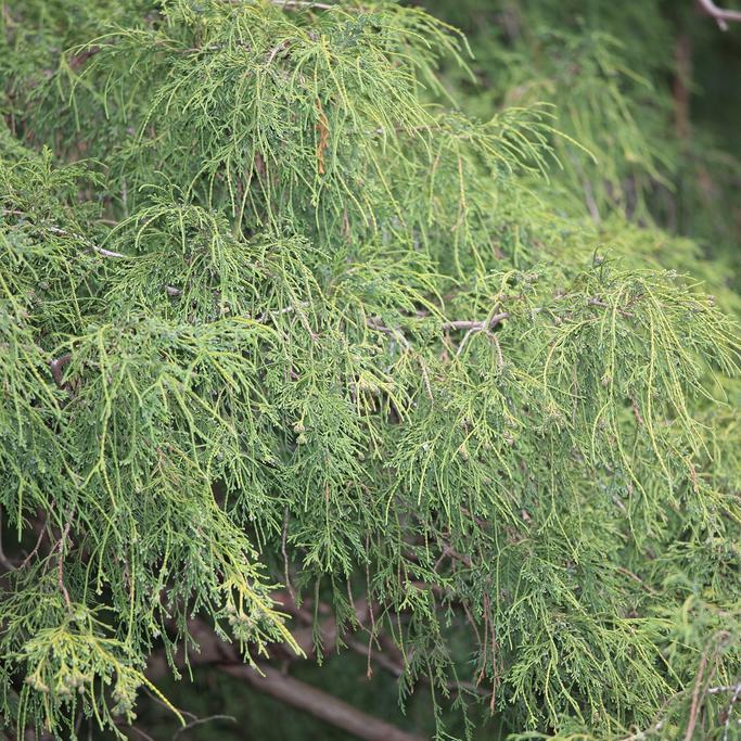 Chamaecyparis à feuillage pendant ou pleureur Faux cyprès Sawara (Chamaecyparis pisifera 'Filifera')