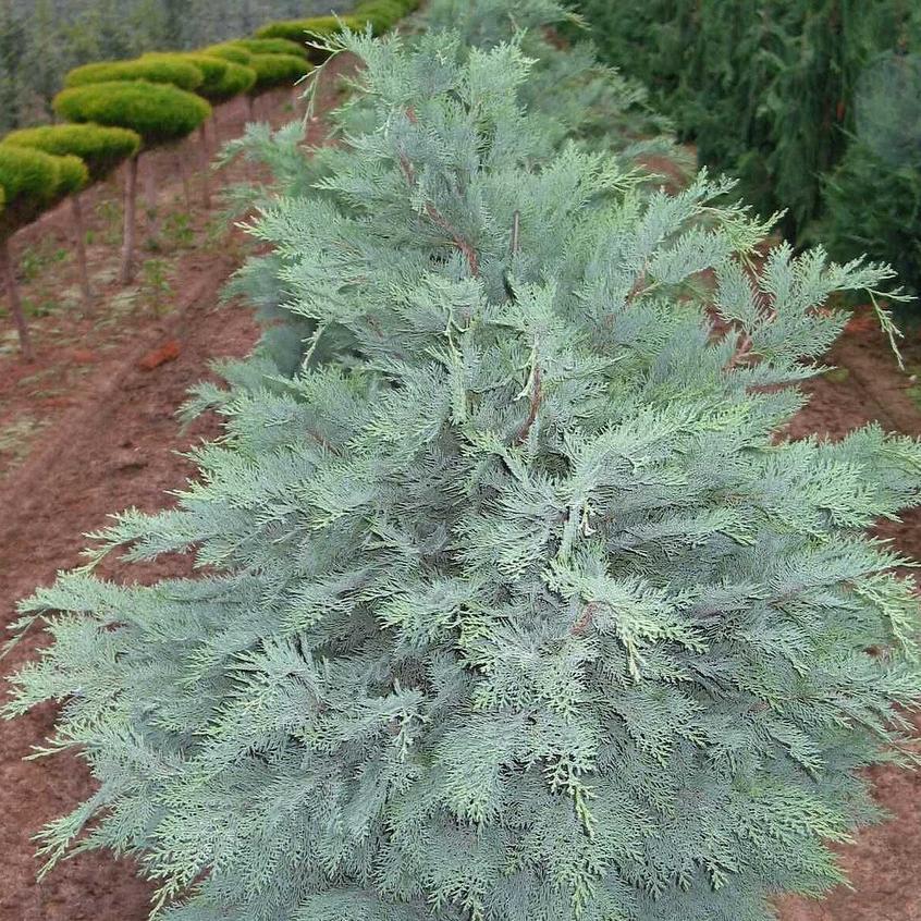 Chamaecyparis à feuillage doré ou bleuté Cyprès de Lawson bleu (Chamaecyparis lawsoniana 'Pembury Blue')