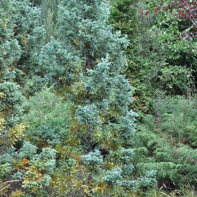 Chamaecyparis à feuillage doré ou bleuté Cyprès de Sawara (Chamaecyparis pisifera 'Boulevard')
