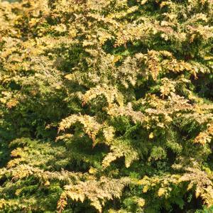 Chamaecyparis à feuillage doré ou bleuté Cyprès Hinoki nain (Chamaecyparis obtusa 'Tetragona Aurea')
