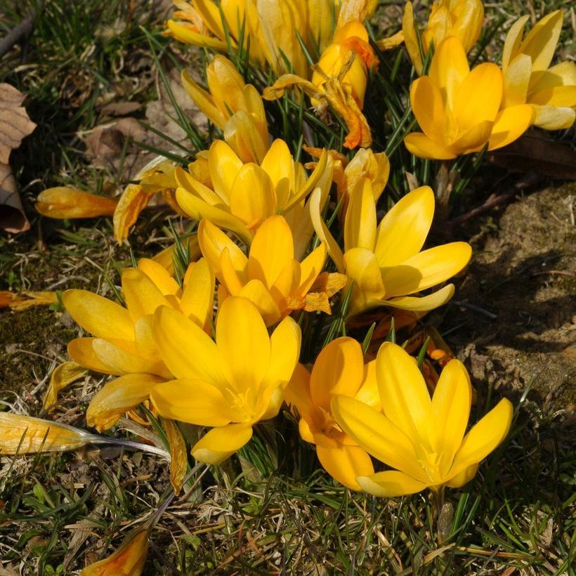 Espèces à floraison printanière Crocus ancyrensis
