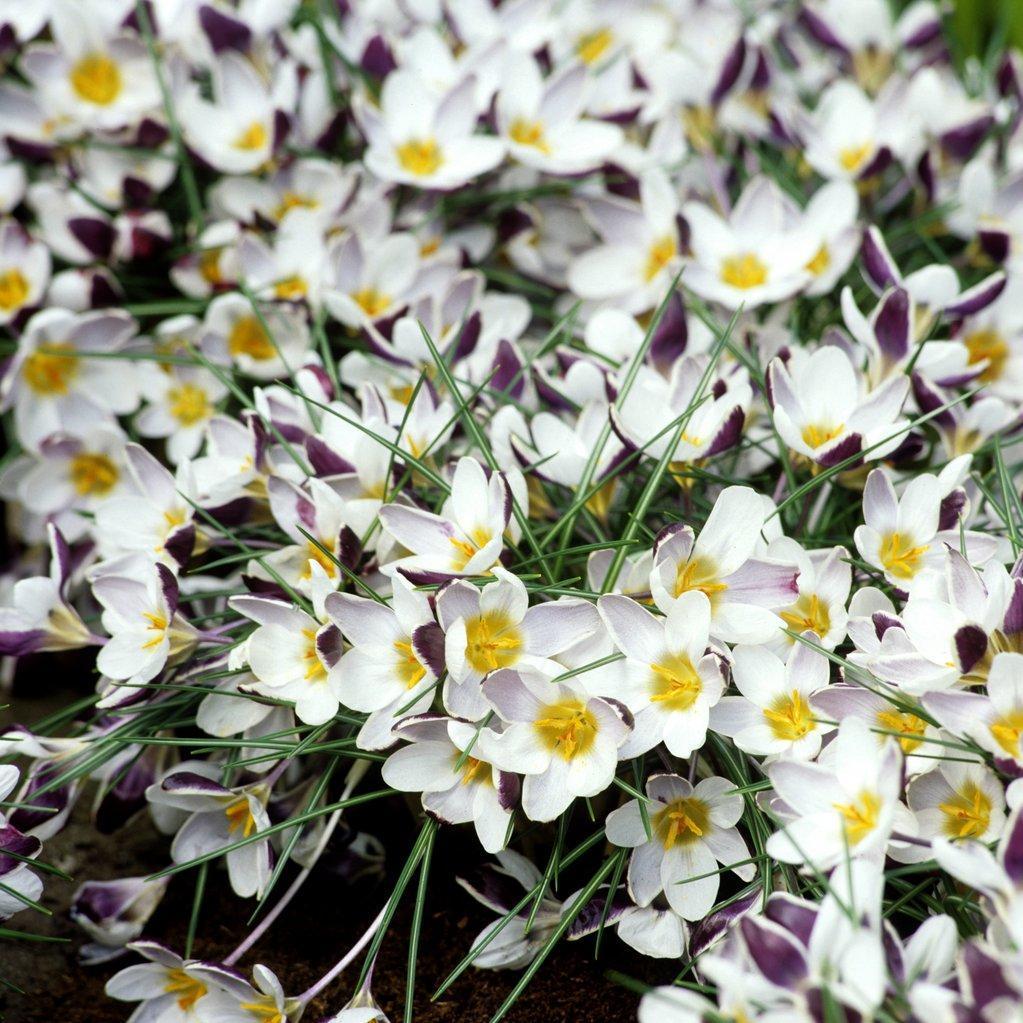 Espèces à floraison printanière Crocus chrysanthus