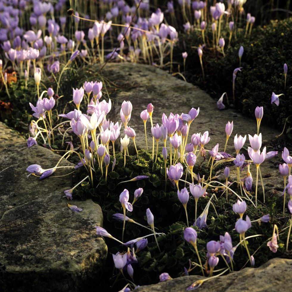 Espèces à floraison automnale Crocus pulchellus