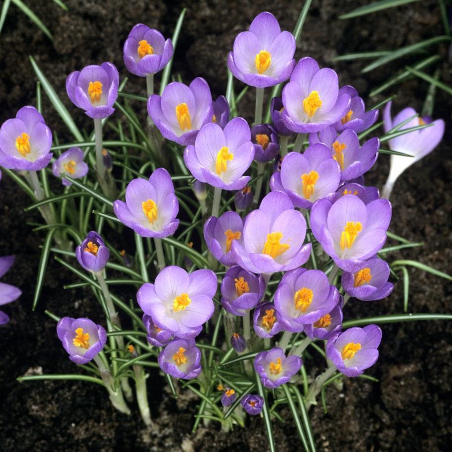 Espèces à floraison printanière Crocus tommasinianus