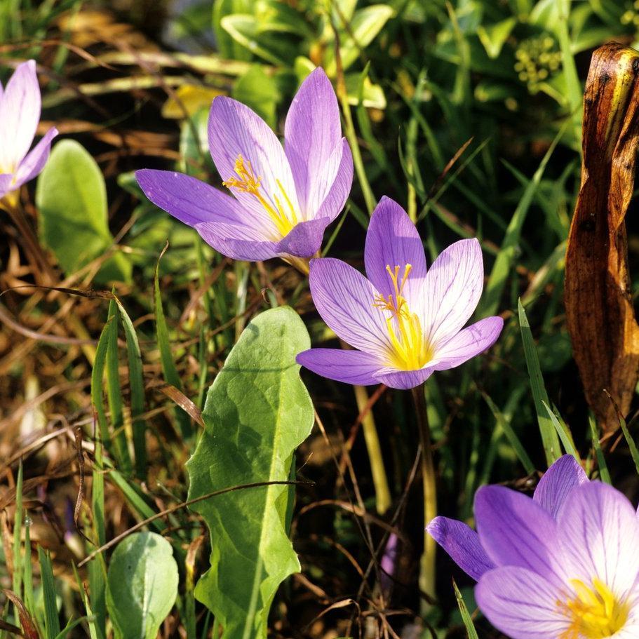 Espèces à floraison automnale Crocus cultivé (Crocus sativus)