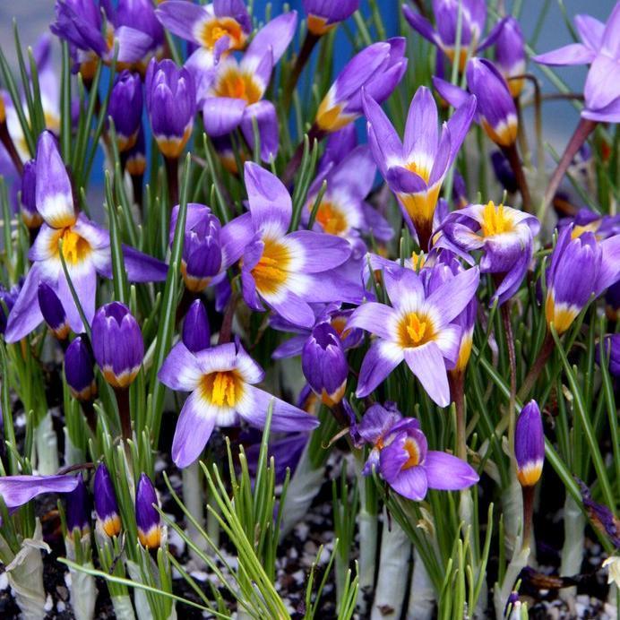 Espèces à floraison printanière Crocus sieberi