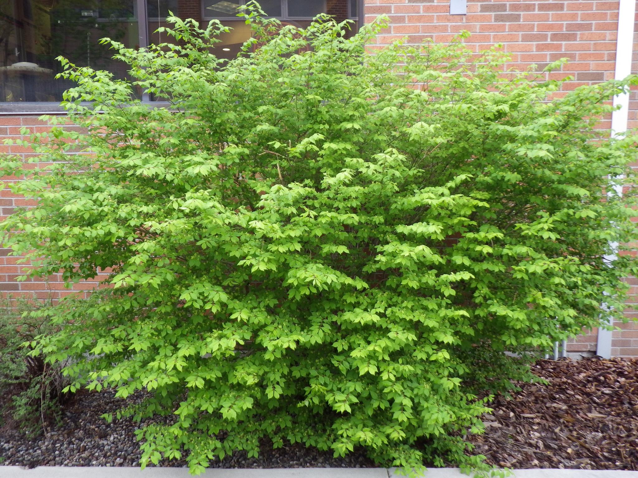 Fusain planter et bouturer ooreka for Euonymus alatus