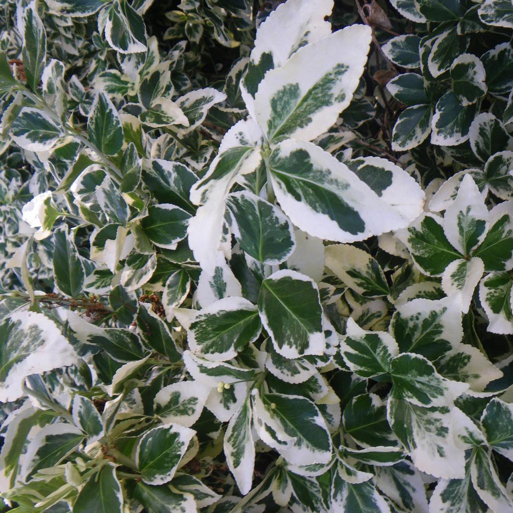 Variétés pour couvre-sol ou pots Euonymus fortunei 'Emerald Gaiety'