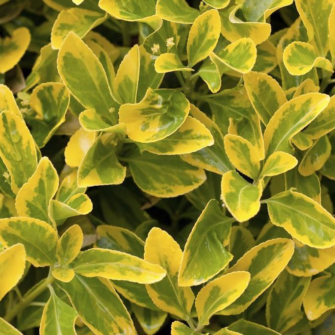 Variétés de petite taille Euonymus japonicus 'Aureovariegata'