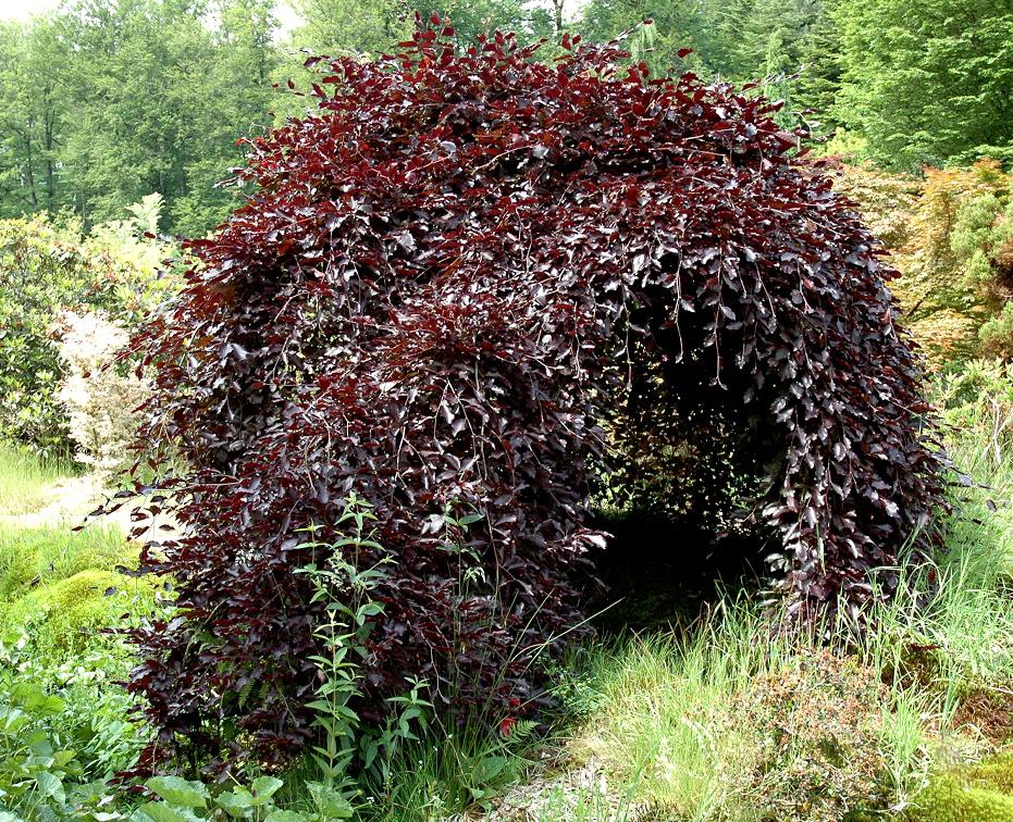 H tre planter et tailler ooreka - Arbuste brise vue sans entretien ...