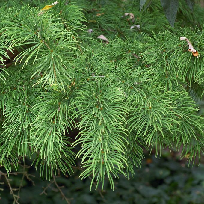 Espèces de genre voisin Mélèze de Chine ou faux mélèze (Pseudolarix amabilis)