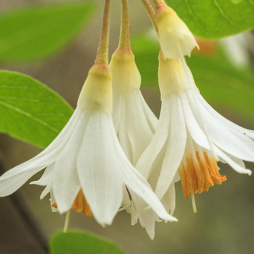 Variétés de petite taille Styrax du japon pleureur (Styrax japonica 'Pendulus')