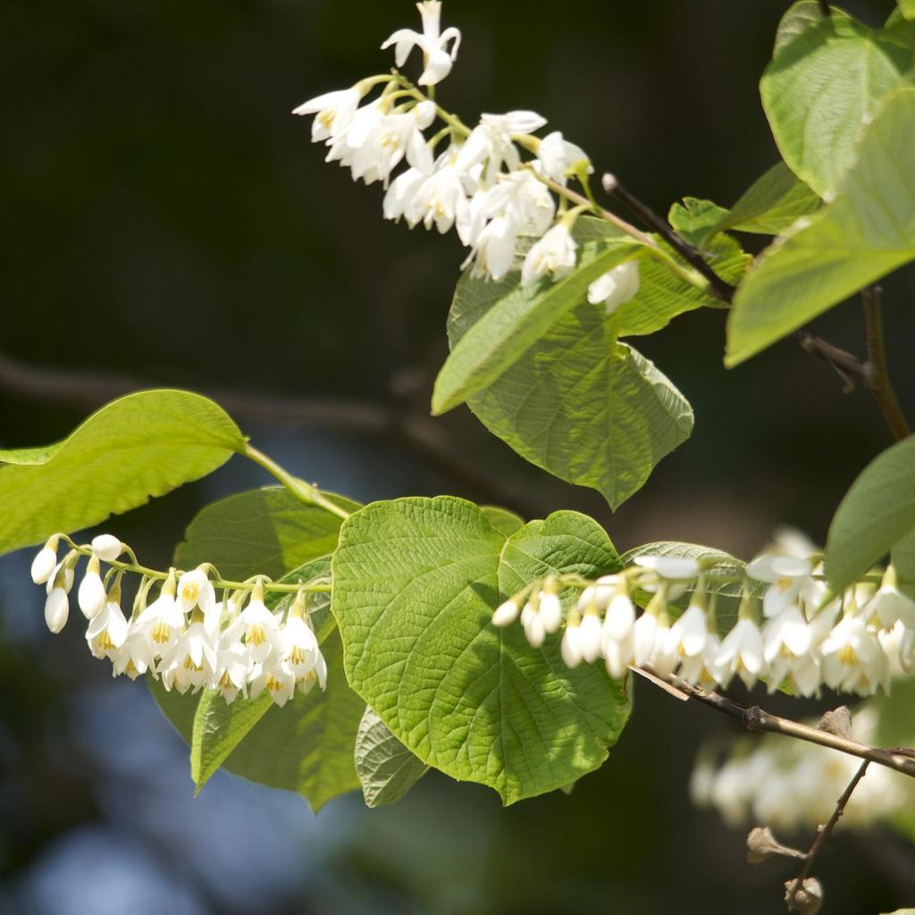 Espèces types Styrax à grandes feuilles (Styrax obassia)