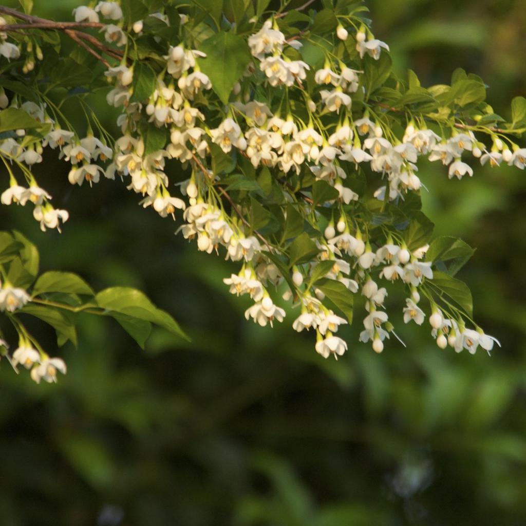 Espèces types Styrax du Japon (Styrax japonica)