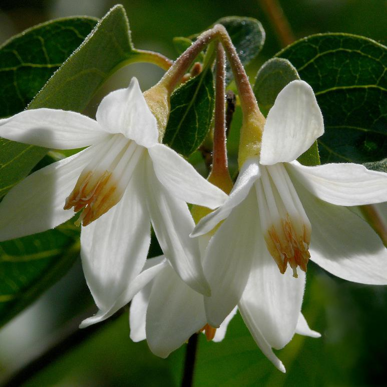 Espèces types Aliboufier (Styrax officinalis)