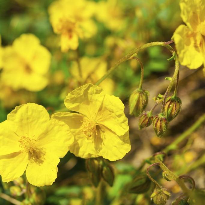 Variétés à fleurs jaunes Hélianthème commun (Helianthemum nummularium)