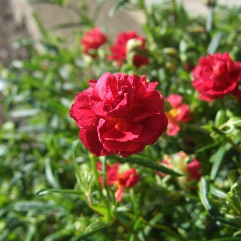 Variétés à fleurs rouges 'Cerise Queen'