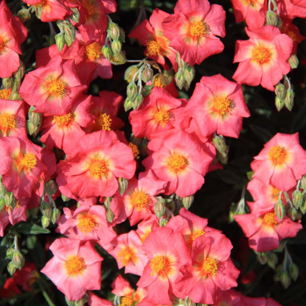 Variétés à fleurs roses 'Miss Mould'