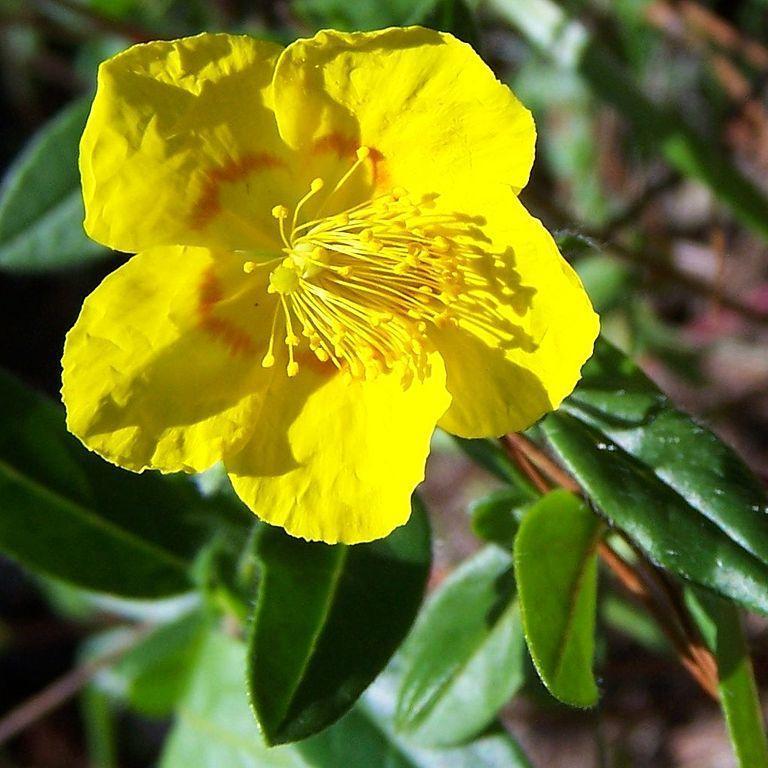 Variétés à fleurs jaunes Hélianthème à grandes fleurs (Helianthemum grandiflorum)