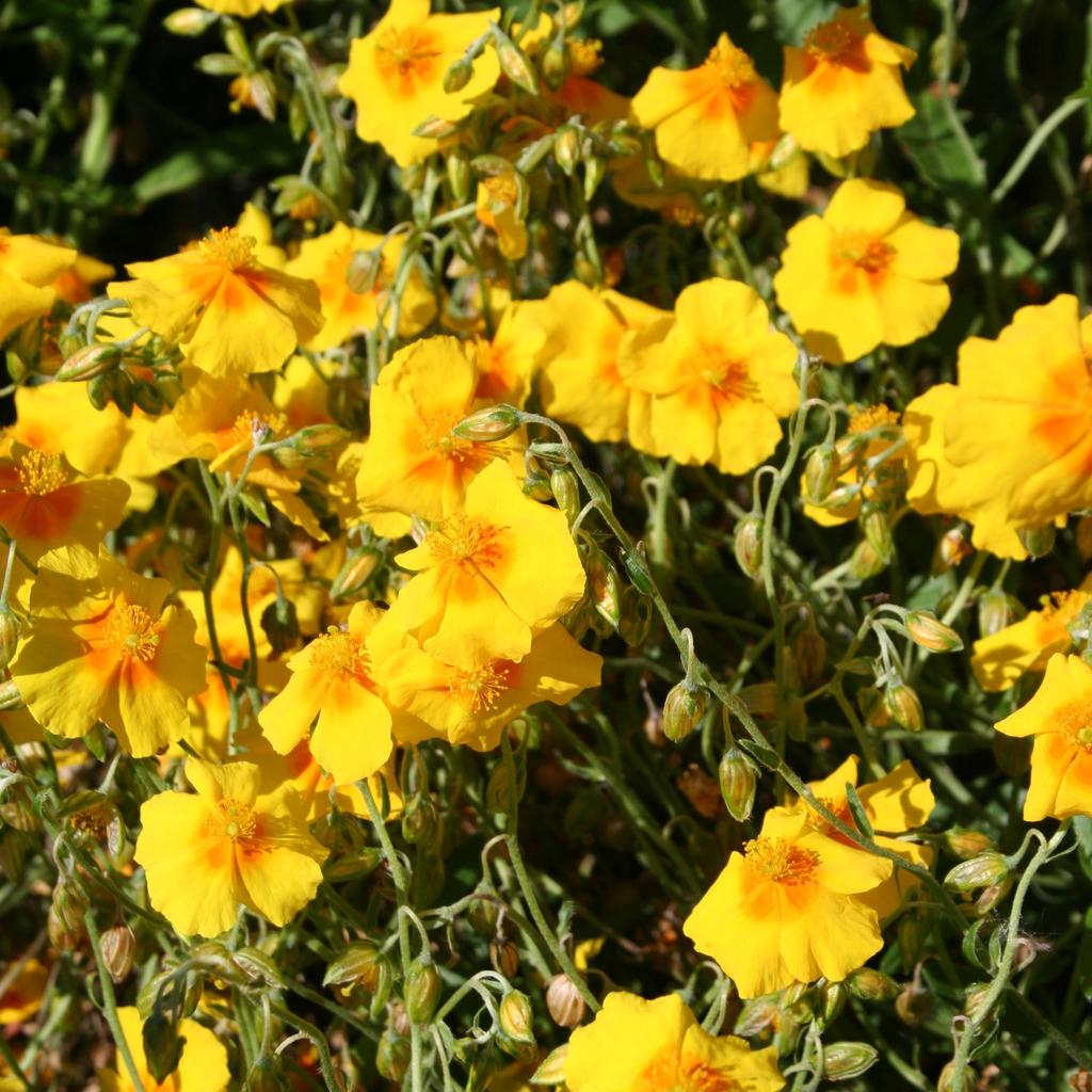 Variétés à fleurs jaunes 'Ben Fahda'