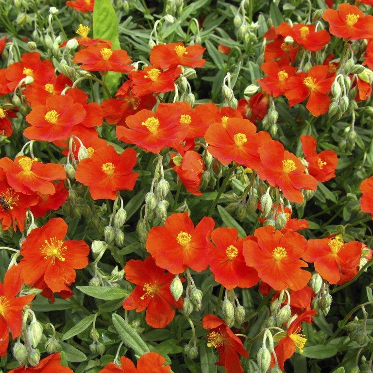 Variétés a fleurs orangées 'Fire Dragon'
