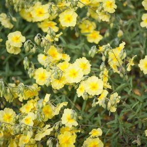 Variétés à fleurs jaunes 'Wisley Primrose'