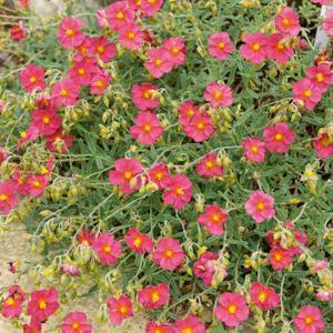 Variétés à fleurs roses 'Ben Hope'
