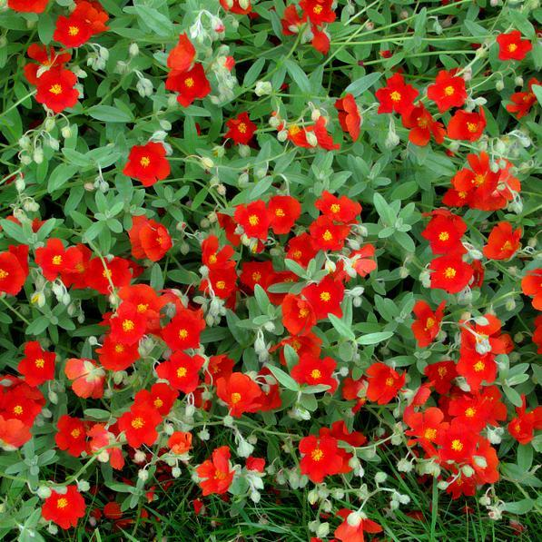 Variétés a fleurs orangées 'Henfield Brillant'