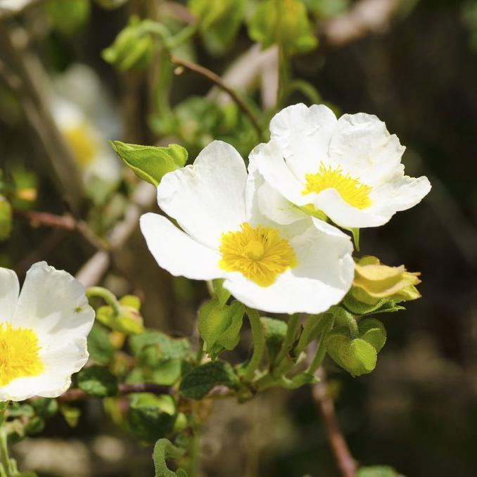 Variétés a fleurs blanches 'The Bride'